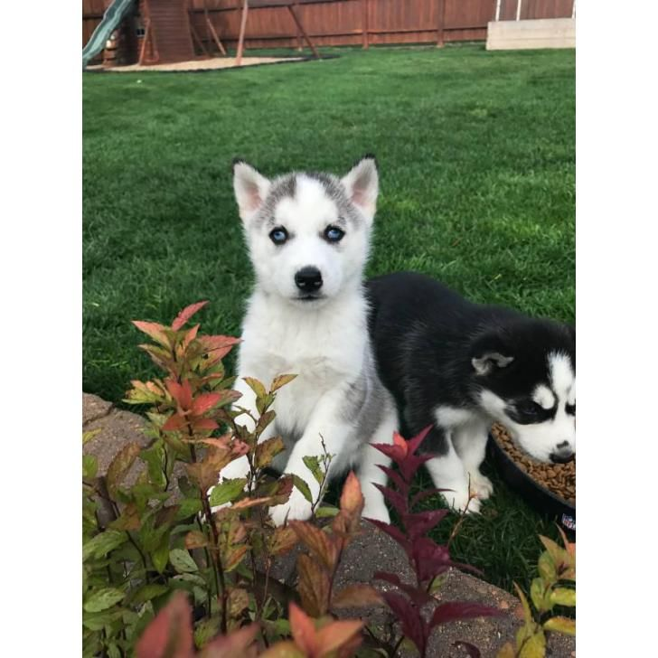 8 Week Old Blue Eyed Husky Puppies For Sale Husky Puppies For