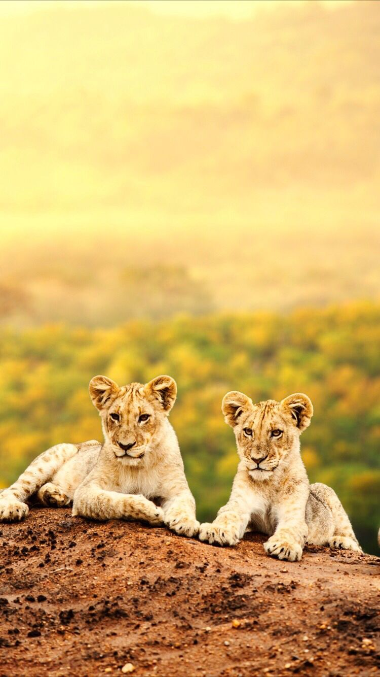 Wild Lions Wallpaper For Your Iphone Xr From Everpix World Lion