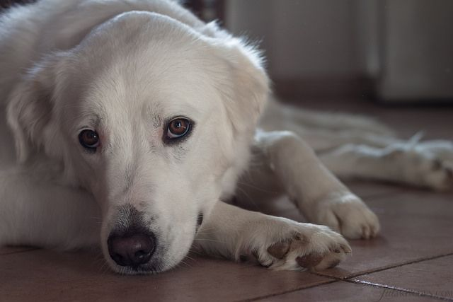 Noa by Juls1981, via Flickr l Today I'm writing a love letter to Noa, the huge white puppy which in the last year has filled our lives with pure and overwhelming love, our garden with half a meter deep holes and my house with white hairs, like everywhere.