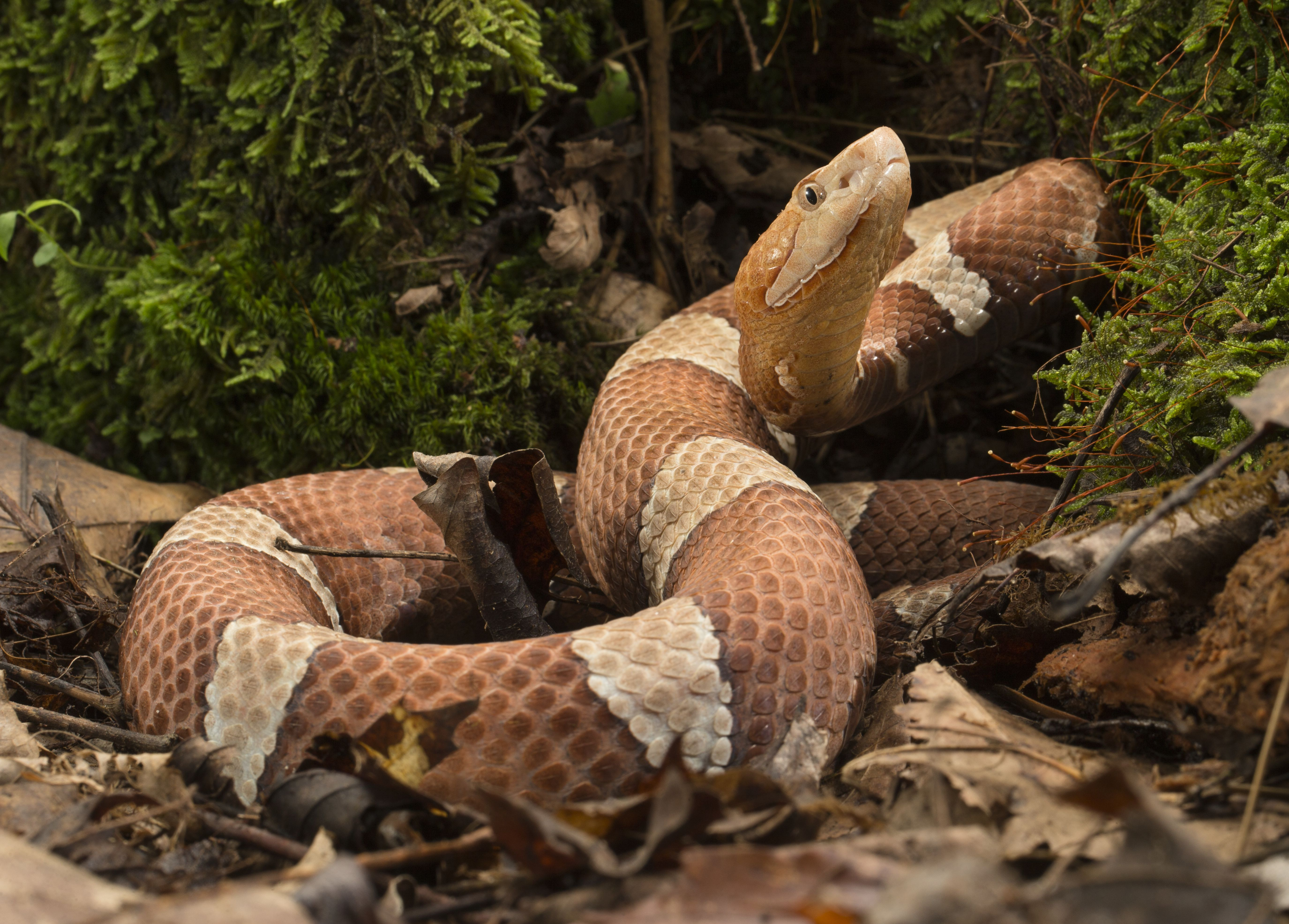 38cd59a22d5c4fc38bd8a28b022d1d53 - How To Get Rid Of Copperhead Snakes In Your Yard