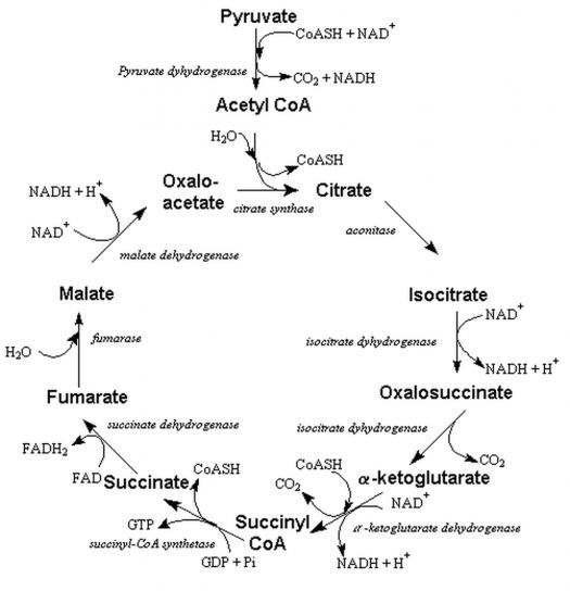 Encéphalopathie de Wernicke — Wikimedecine   Laboratoire ...