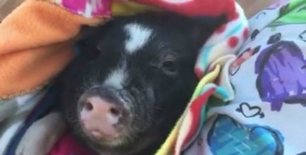 This little stray piggy is safe and wrapped in a soft blanket