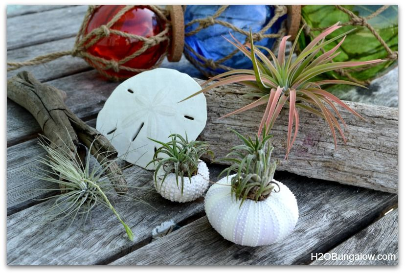 how to care for air plants plants flowers air plants care air plants plants. Black Bedroom Furniture Sets. Home Design Ideas