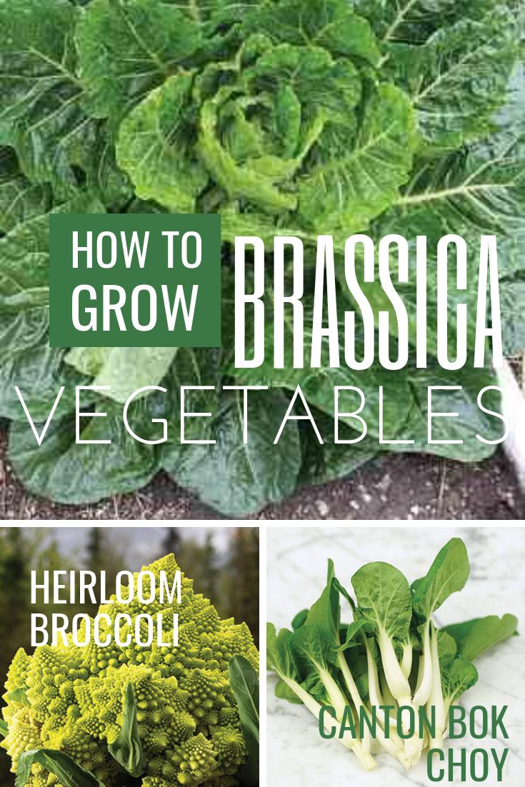 Growing Brassica Vegetables Farm And Garden Grit Magazine Fall Vegetables To Plant Fruit Garden Plans Vegetables