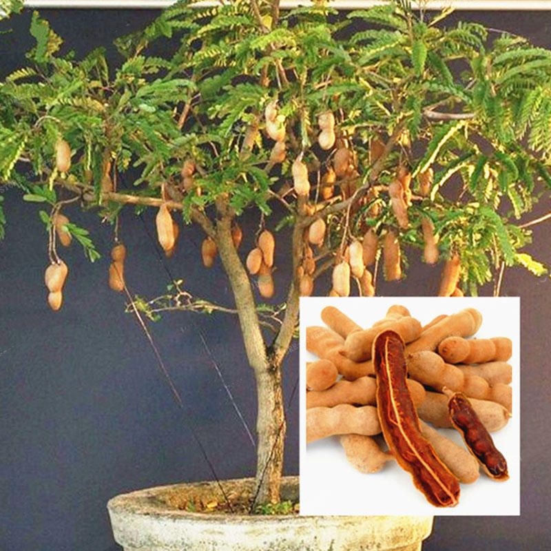 Tamarind Seeds Bonsai Tree  Home Garden Plant Sweet Fruit Seed Plant Thai