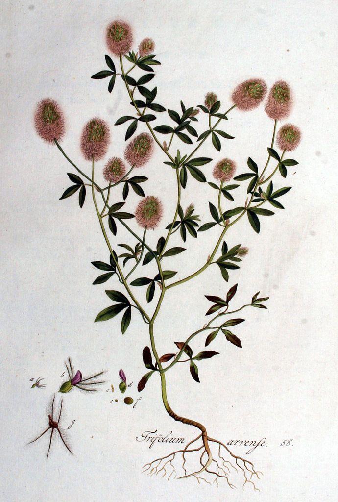 Maeuseklee - Trifolium arvense L.