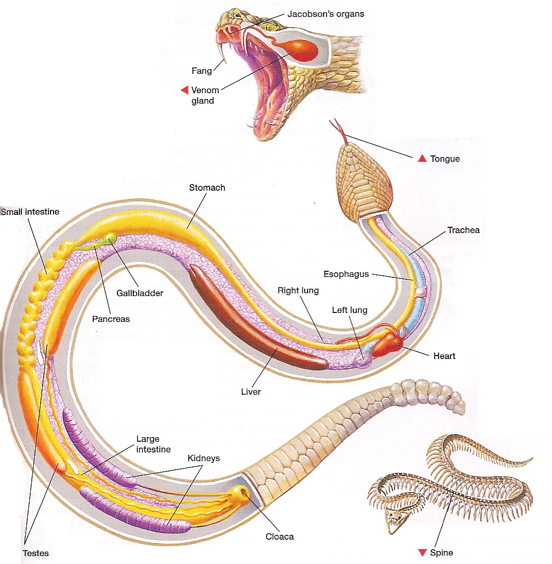 Snake Anatomy Diagram Zama Carburetor Fuel Line And Physiology Pet Education The Of Snakes Differs From That Mammals Especially In Areas Senses