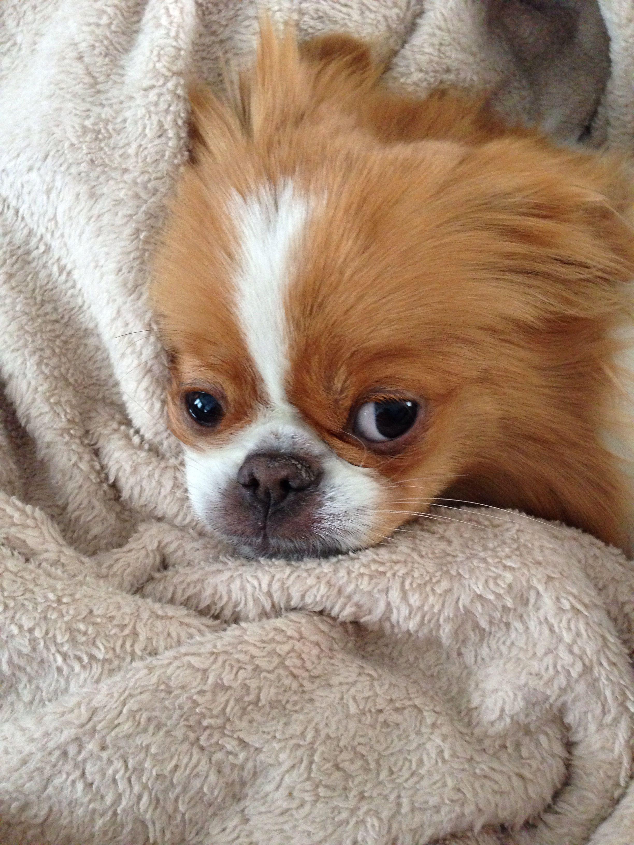 Japanese Chin dog art portraits, photographs, information