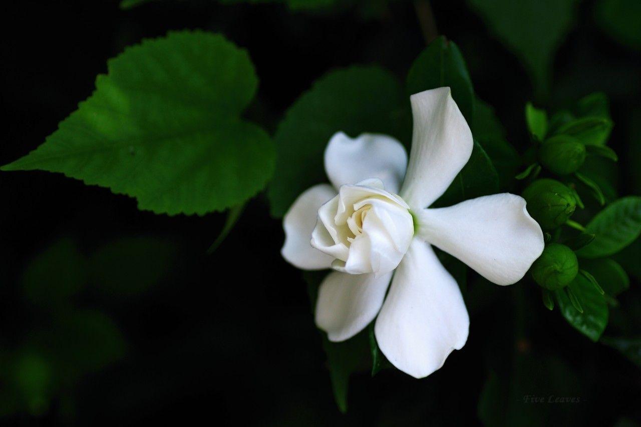 Gardenia Jasminoides 美しい花 6月の誕生花 季節の生花種類