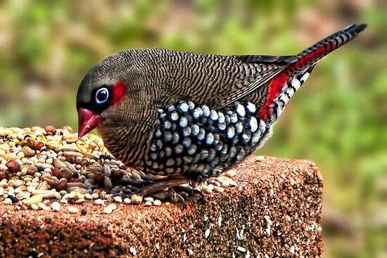 Adult Red-Eared Firetail (Stagonopleura oculata)