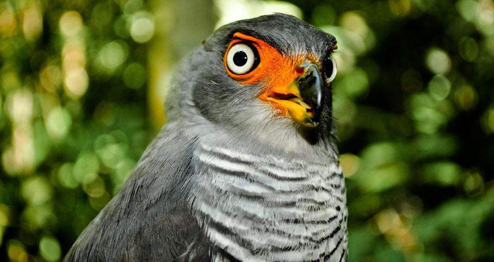 Falcao Criptico Micrastur Mintoni Birds Of The World Aves Do