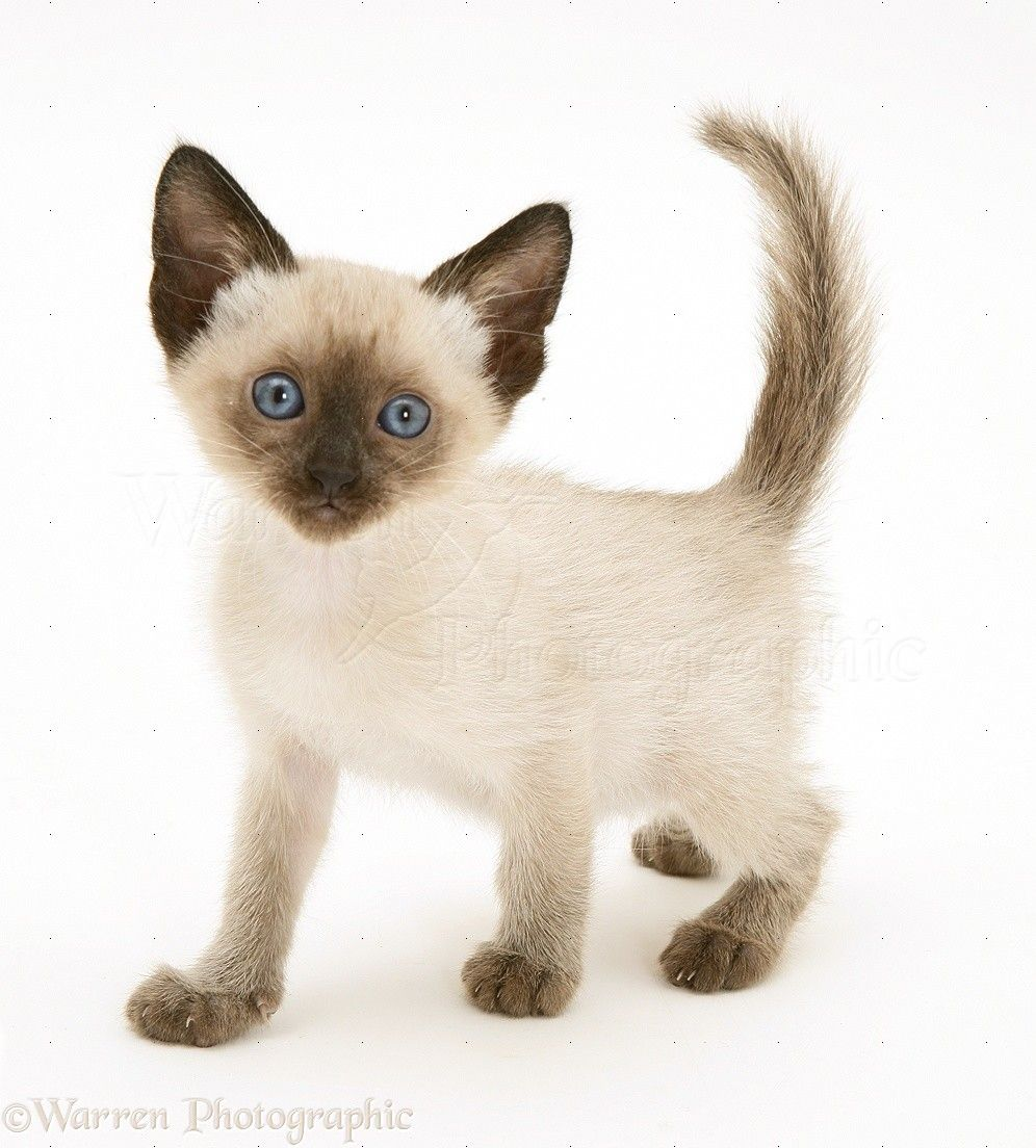 Top Unusual Cat Breeds On Earth. | Siamese kittens, Siamese and Cat