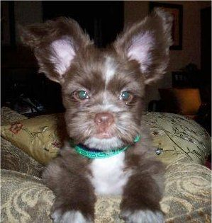 Shiranian Shiranians Pom Shih Tzu Hybrid Cute Dogs Cute Animals Cute Animal Pictures