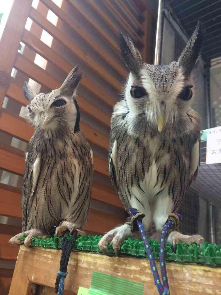 【話題】フクロウの目の前で掃除機をかけた結果…。変な生き物になってるw