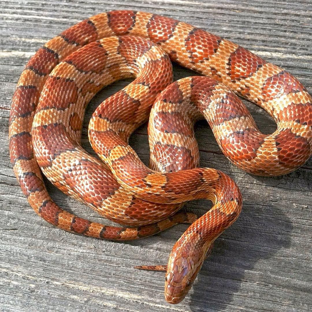 classic corn snake - photo #20