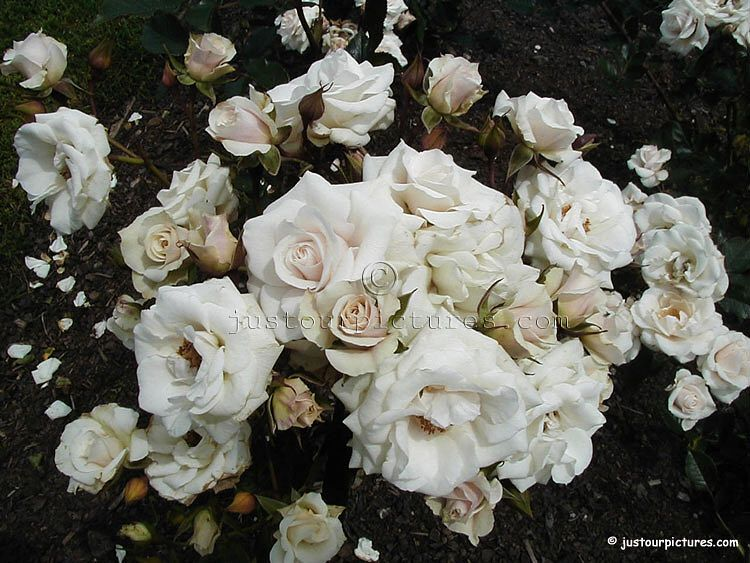 White Roses 3 White Rose Bouquet Rose Pictures Birthday Month Flowers