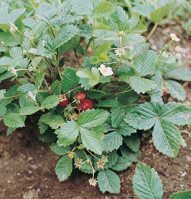 Strawberry Alexandria D697A (Red) 1000 Seeds by David's Garden Seeds David's Garden Seeds,http://www.amazon.com/dp/B00E6FANMU/ref=cm_sw_r_pi_dp_ddvatb1XQJNVGT61