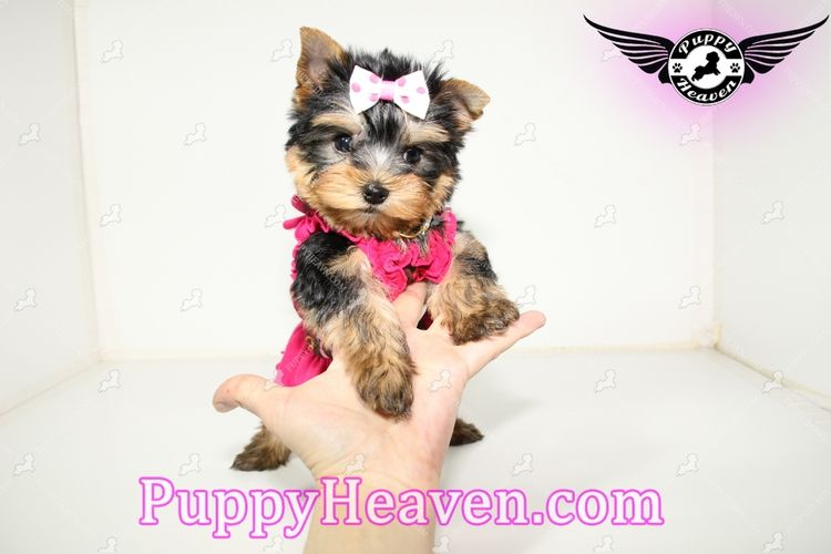 Tiny Teacup Toy Yorkie Puppies In Las Vegas Shipped To Anywhere In The Us Canada Small Happy Healthy Re Puppy Heaven Teacup Puppies Puppy Starter Kit