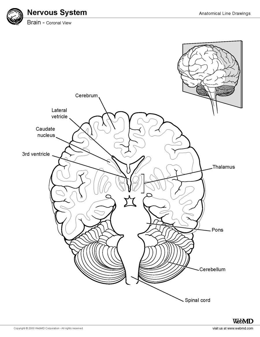 Ventricles of the Brain: Overview, Gross Anatomy, Microscopic ...