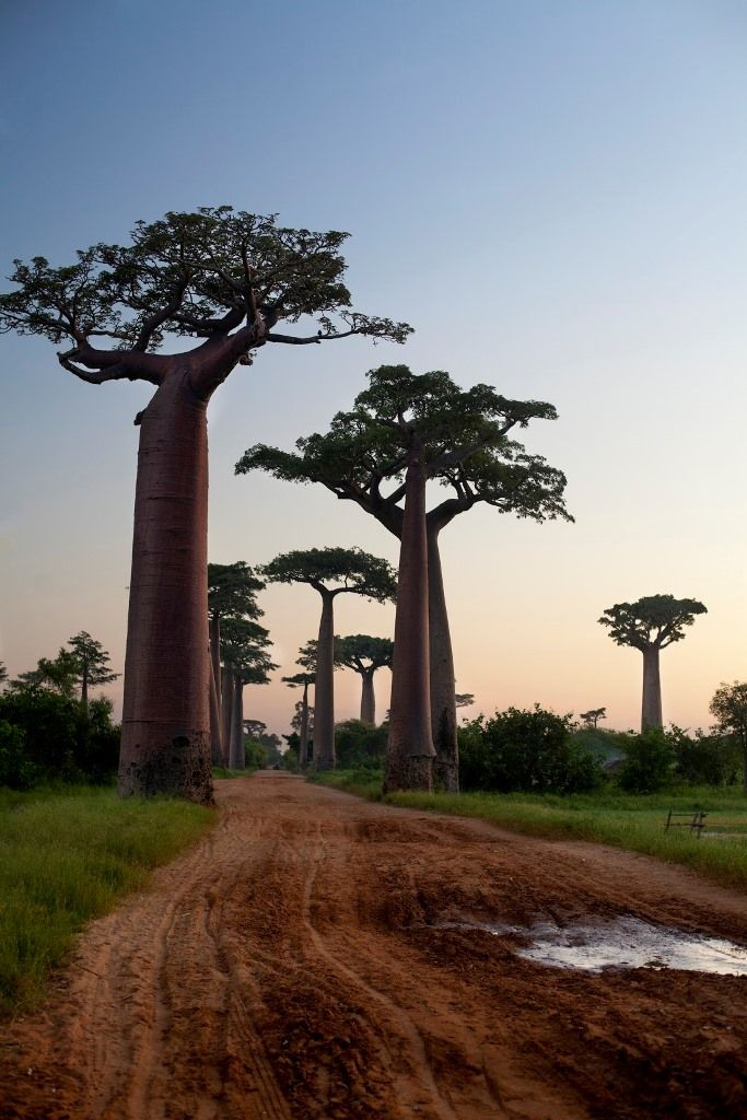 Avenue of the Baobabs 6