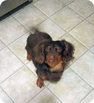 Pin By Victoria Lang On Get A Dog Dachshund Dachshund Adoption Dogs