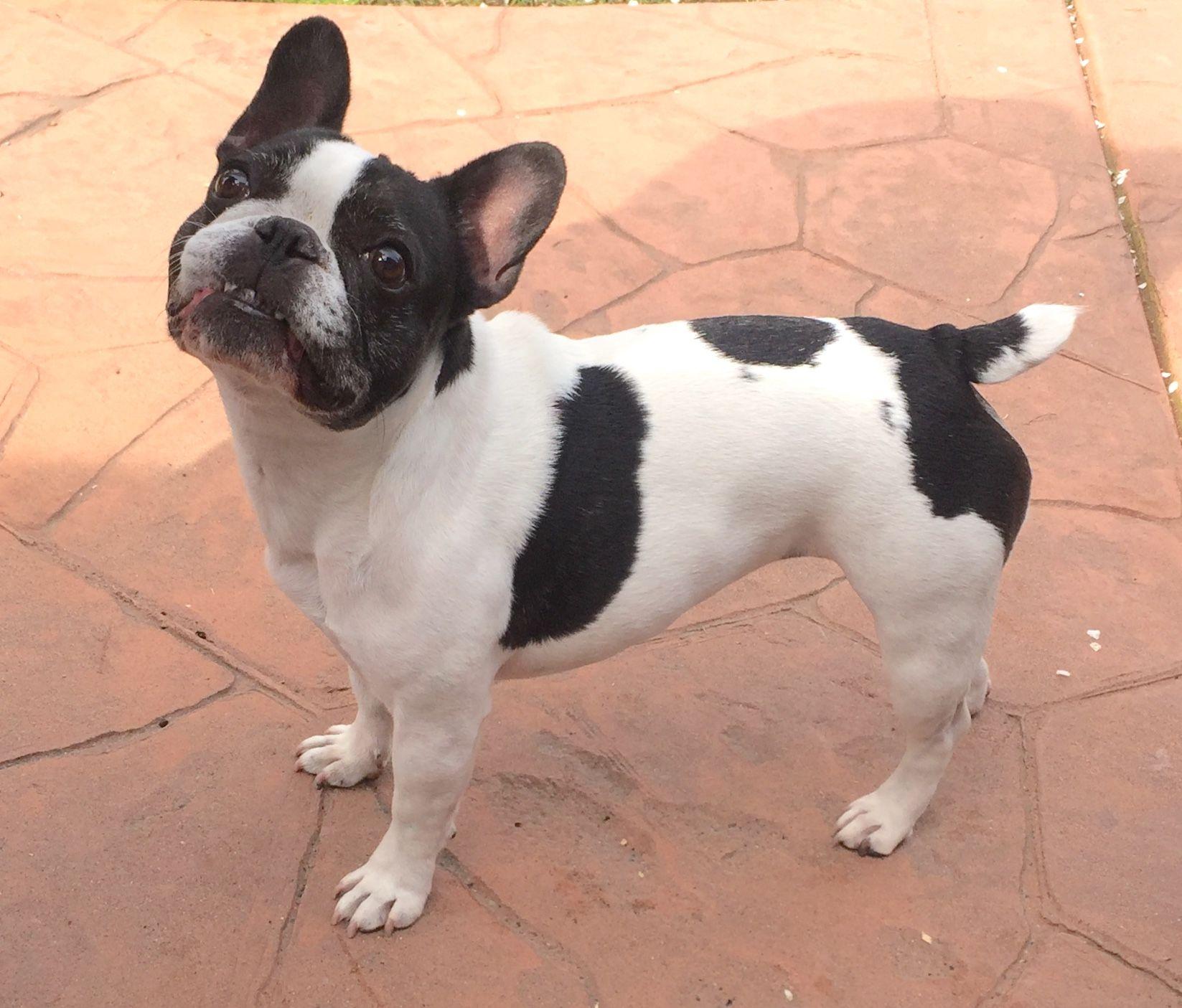 Pepper The Sassy French Bulldog Love Her Little Tail Cute French Bulldog French Bulldog Bulldog