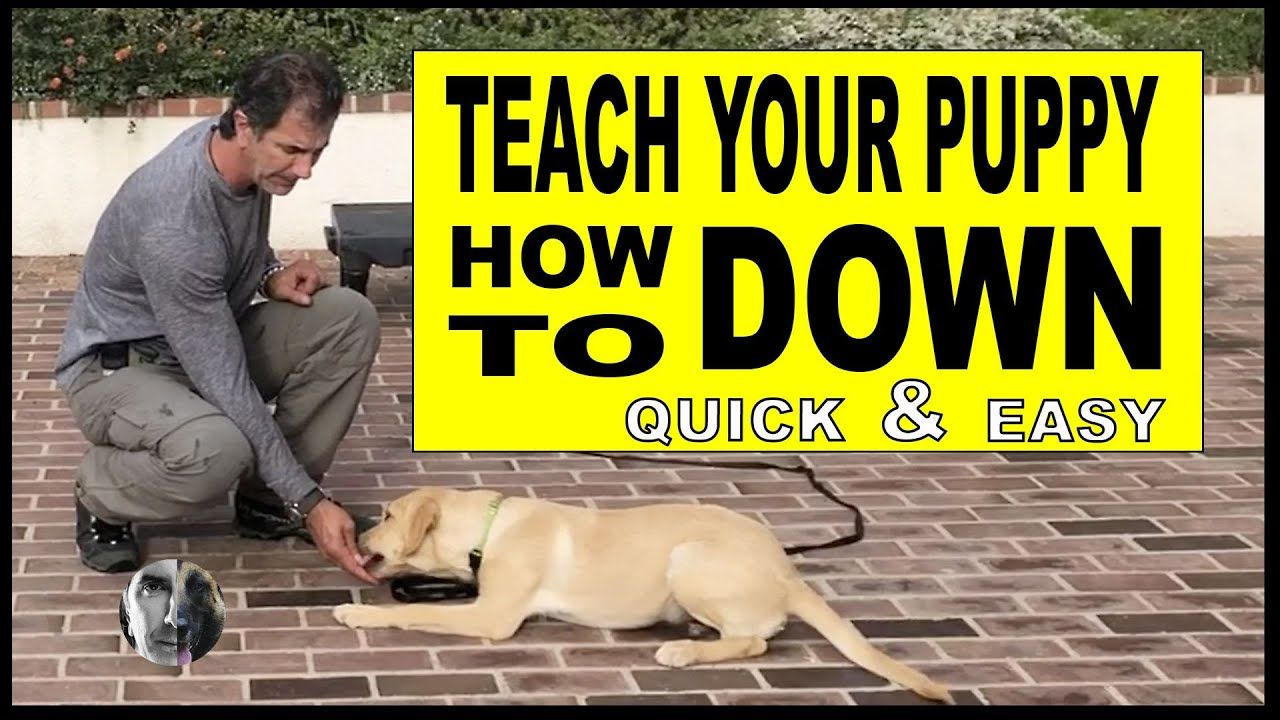 How To Teach Your Puppy Or Dog Lie Down Dog Training Video Dog