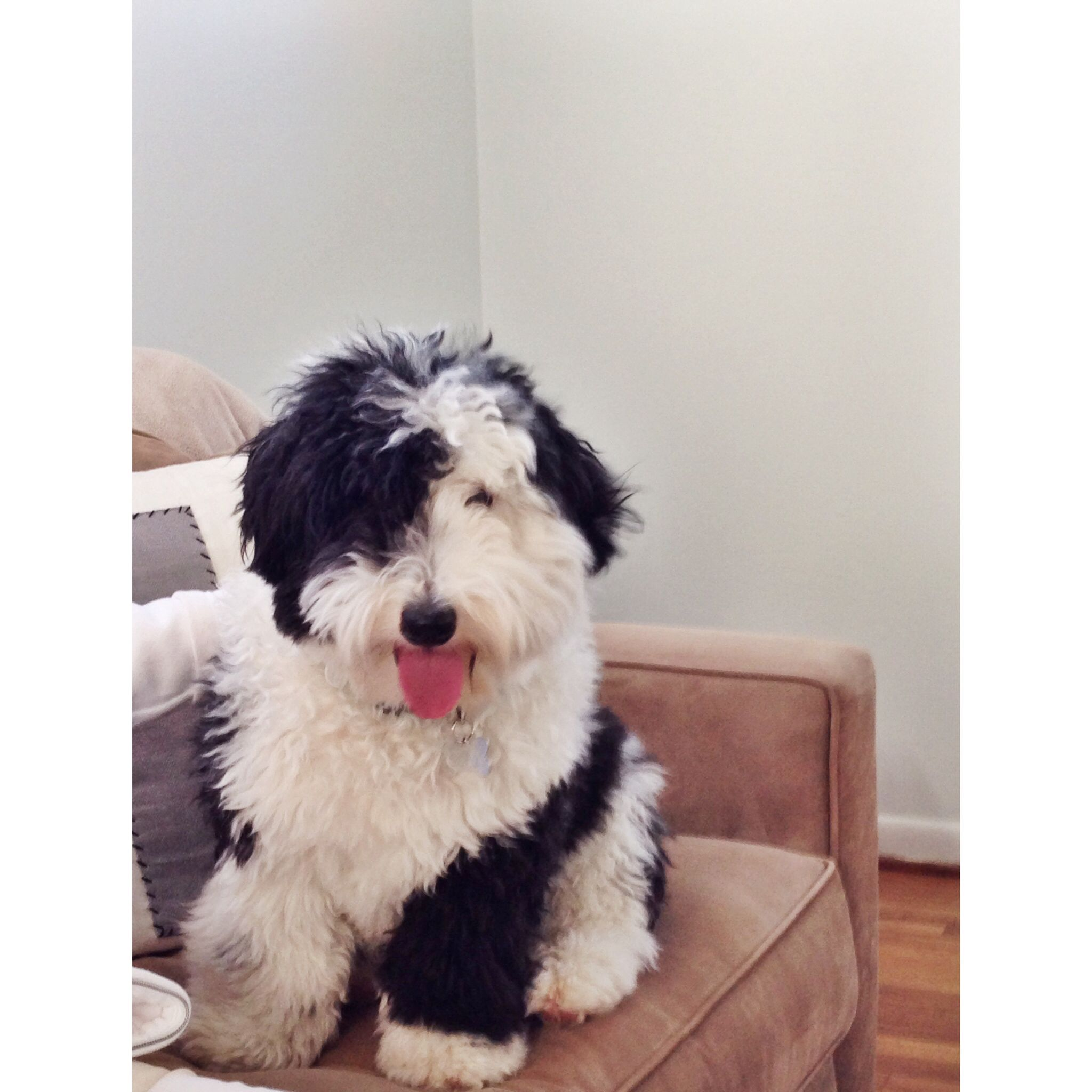Bear - the happiest sheepadoodle in all the land  | Bear - Mini