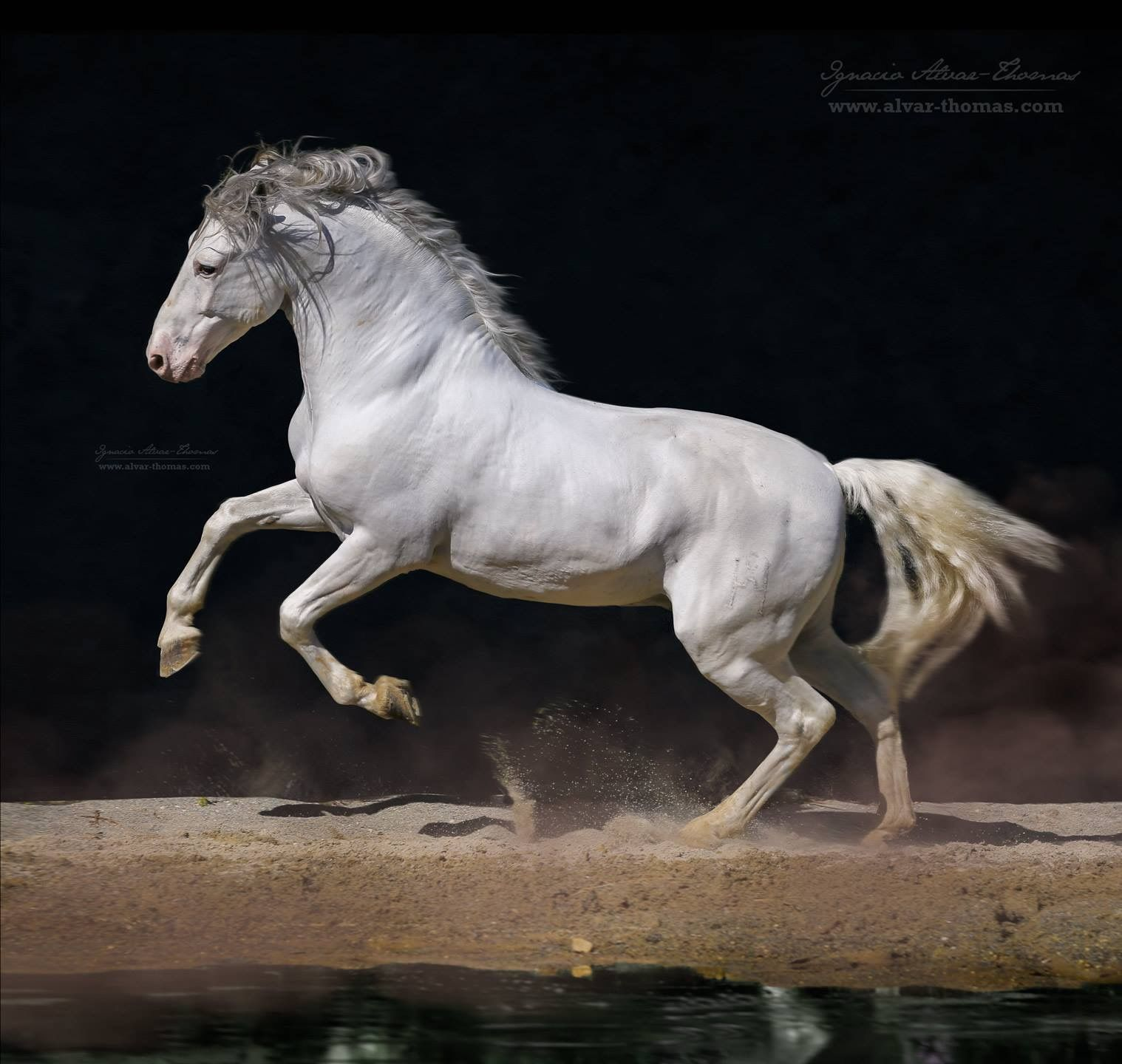Horse running kicking up sand at the waters edge ... - photo#44