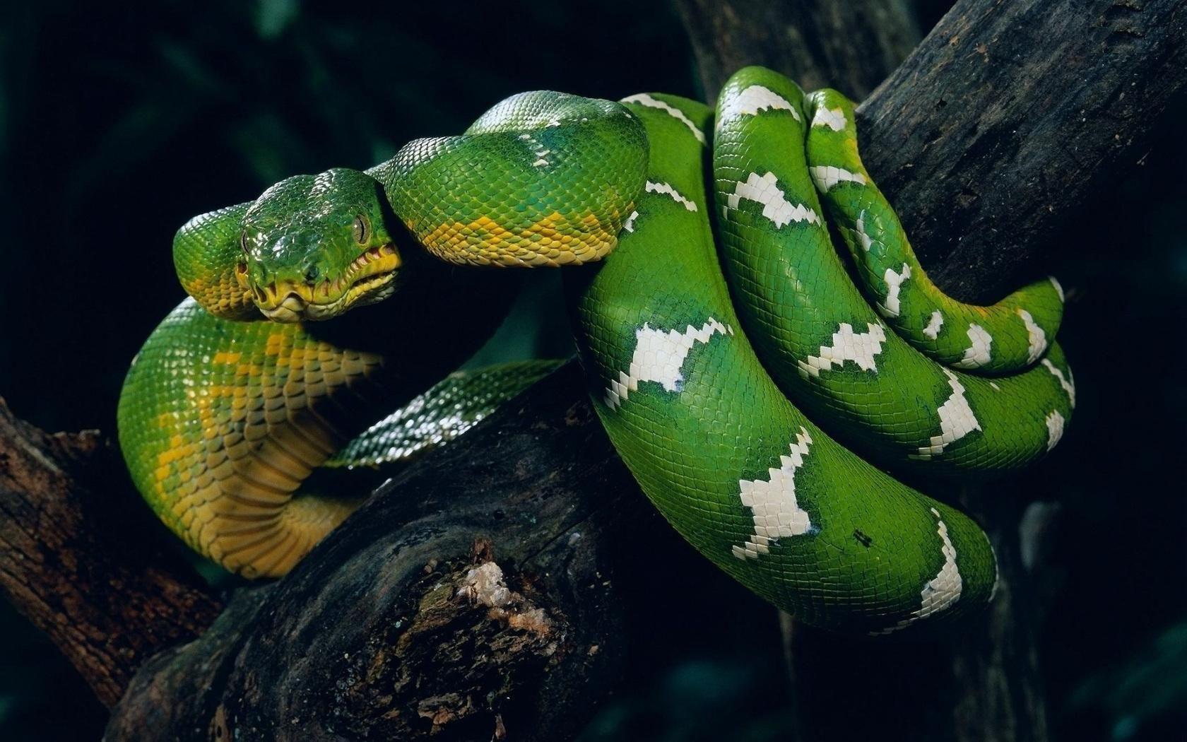 Wallpapers Anaconda Wallpaper HD Wallpapers  Snake