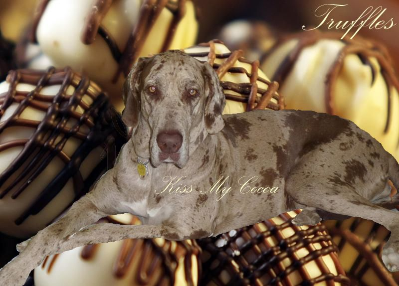 Chocolate Merle Great Dane I Ve Died And Gone To Heaven