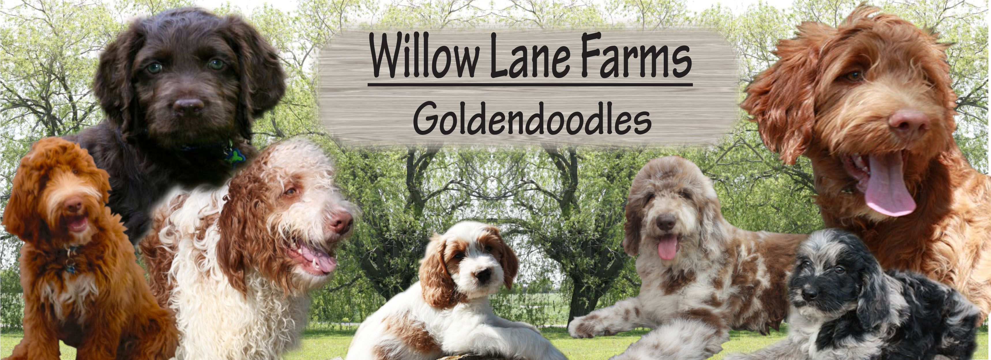 Goldendoodle Ausssiedoodle Bernadoodle puppies I SAW