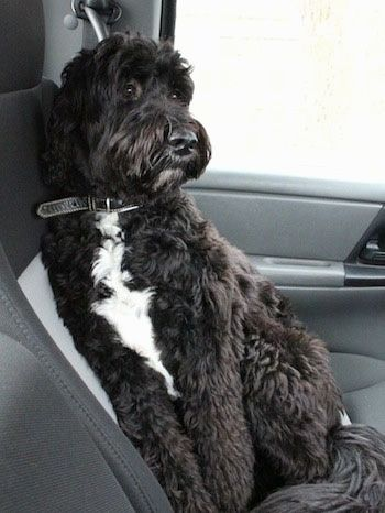 Front Side View A Thick Wavy Coated Black With White Springerdoodle Is Laying Against The Back Gray Bucket Seat In A Car Lo Springerdoodle Hybrid Dogs Dogs