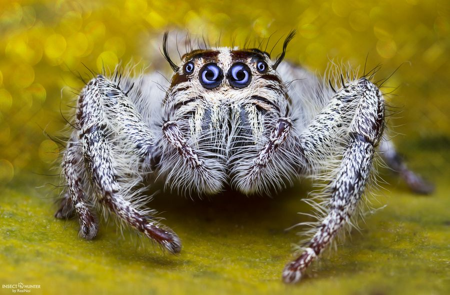 Pin on Jumping spiders