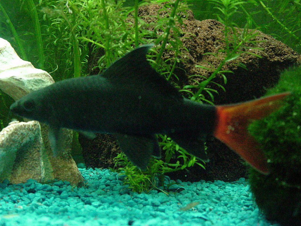Red Tailed Shark Freshwater Aquarium Fish Cool Fish Tropical Fish
