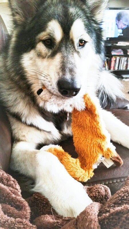 My Favorite Fox Toy Alaskan Malamute Alaskan Husky Siberian Husky