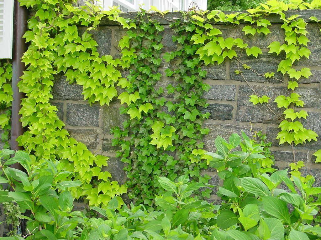 Photo 21988 Parthenocissus Tricuspidata Fenway Park In 2020 Parthenocissus Tricuspidata Wall Climbing Plants Boston Ivy