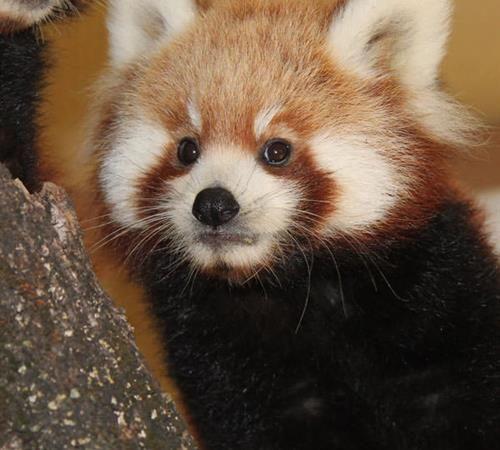 Red Panda Encounter At Chattanooga Zoo Includes Petting Feeding Chattanooga Zoo Red Panda Animal Behavior