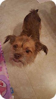 Loxahatchee Fl Brussels Griffon Cairn Terrier Mix Meet Gizmo