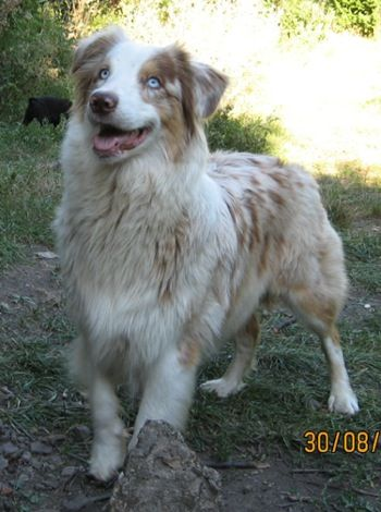 Our Dog Is Half Australian Shepherd At Only 9 Months Old She Is