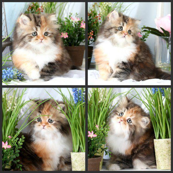 Calico Tabby Persian Kitten For Sale Doll Face Calico Kitten