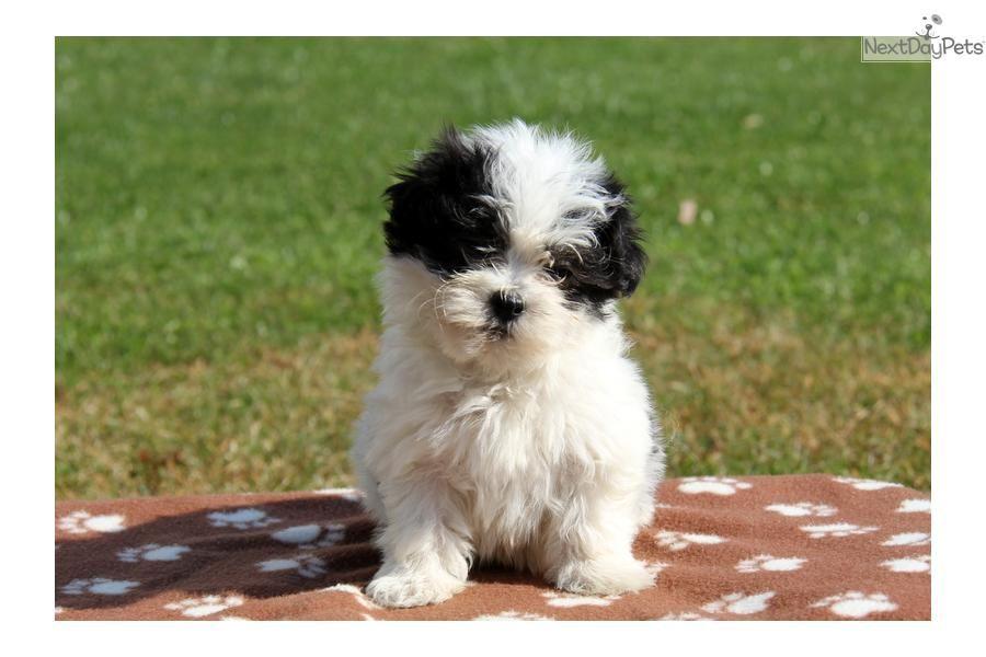 Juster Havanese Havanese Havanese For Sale Puppies