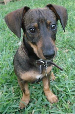 Doxie Pin Dog Breed Information And Pictures Dachshund