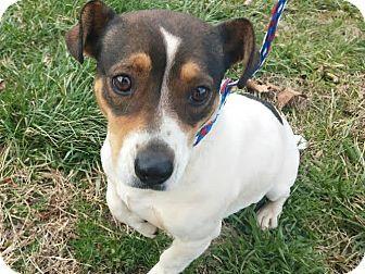 Staten Island Ny Beagle Dachshund Mix Meet Lexana A Dog For