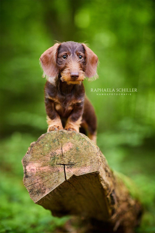 Dog Photography Hundefotografie Zwergdackel Dackel Teckel