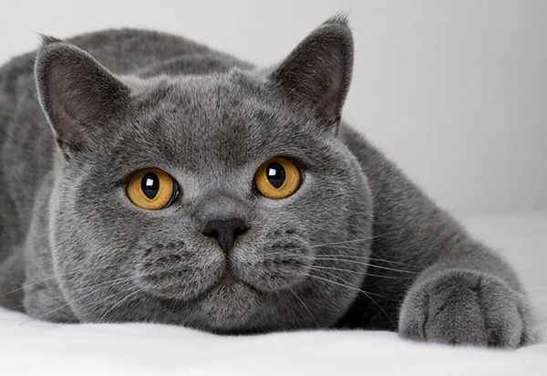 10 Most Beautiful Cat Breeds In The World British Shorthair Cats Cute Animals Grey Cats