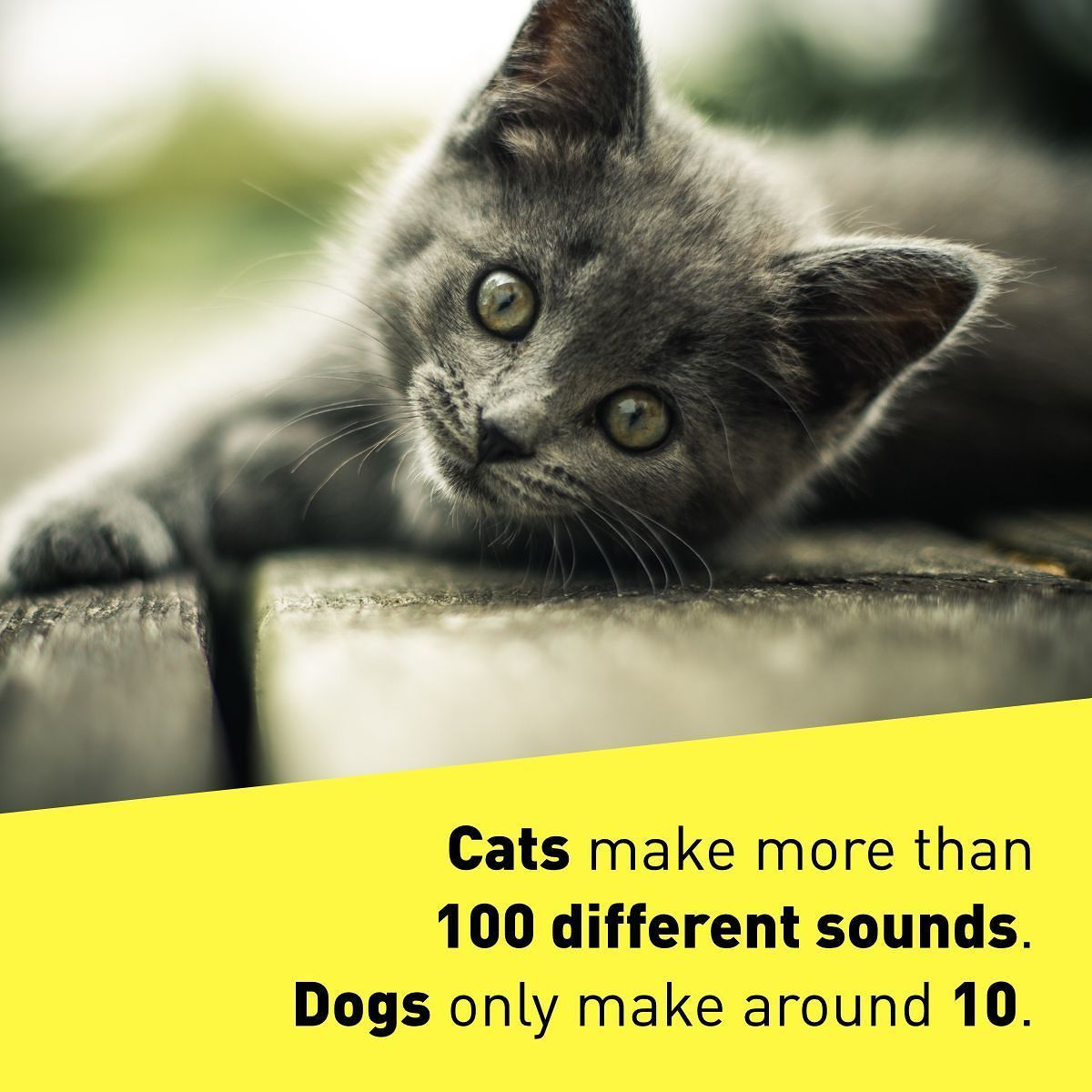 meow cats fact cute adorable science facts factoftheday