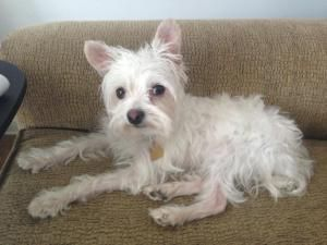 Adopt Bonnie's Tommy pending on Fluffy puppies, White