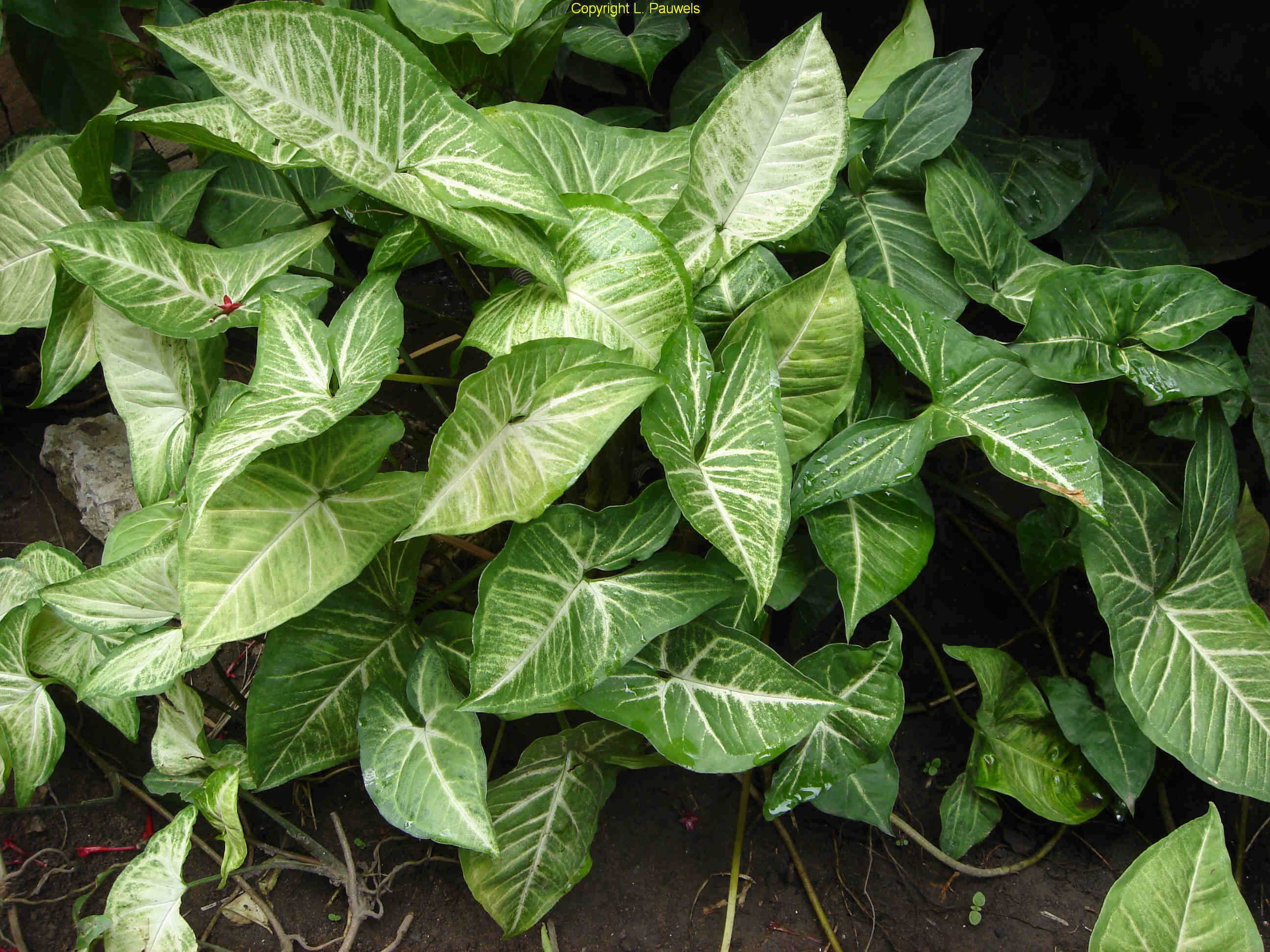 arrowhead vine syngonium podophyllum love these plants they grow as vines or make