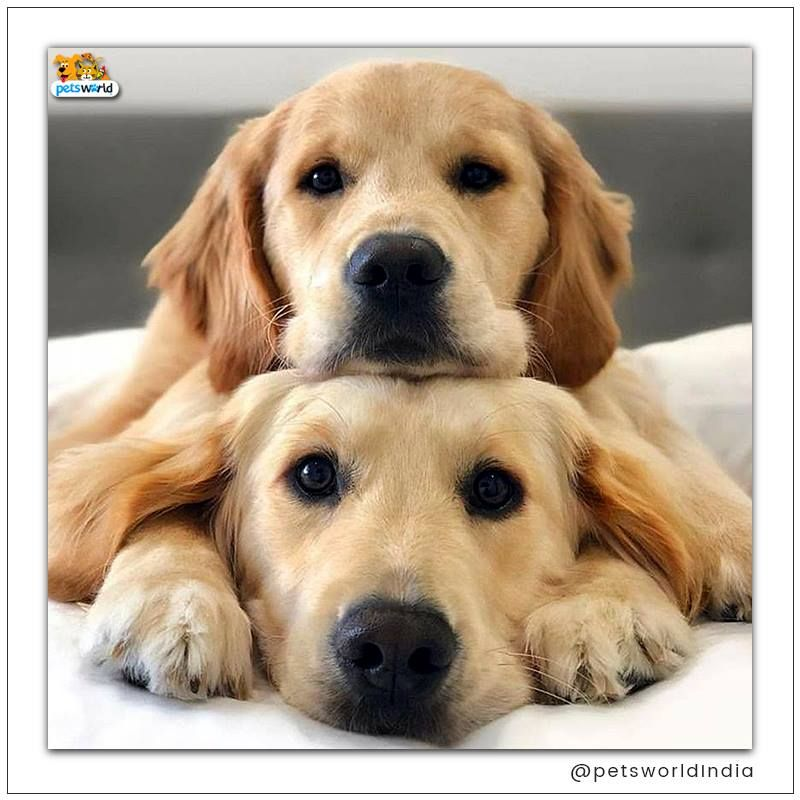 Couple Goals Petsworld Couples Couplegoals Puppy Puppies Puppypics Dogs Doggy Doggypics Cute C Dogs Golden Retriever Cute Dogs Cute Dogs And Puppies